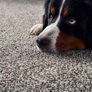 Dog on Carpet floor | Dalton Wholesale Floors